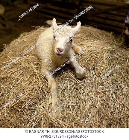 New born lamb inside barn, Iceland