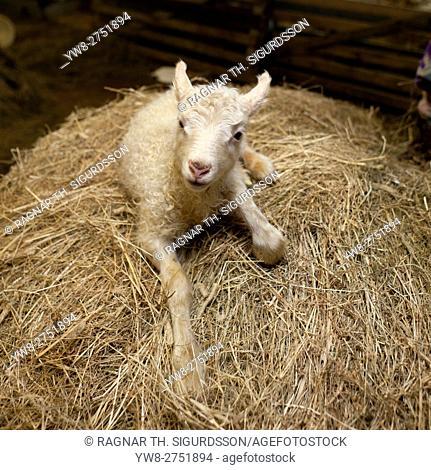 New born lamb inside barn, Iceland