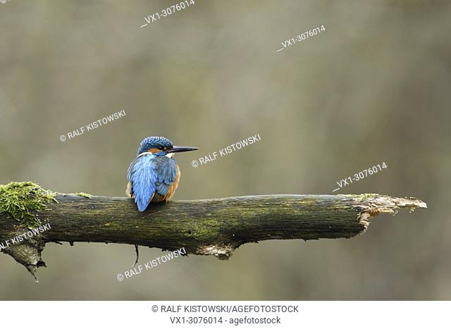 Eurasian Kingfisher ( Alcedo atthis ), male bird, perched on a branch, watching aside, on distance, backside view, wildlife, Europe