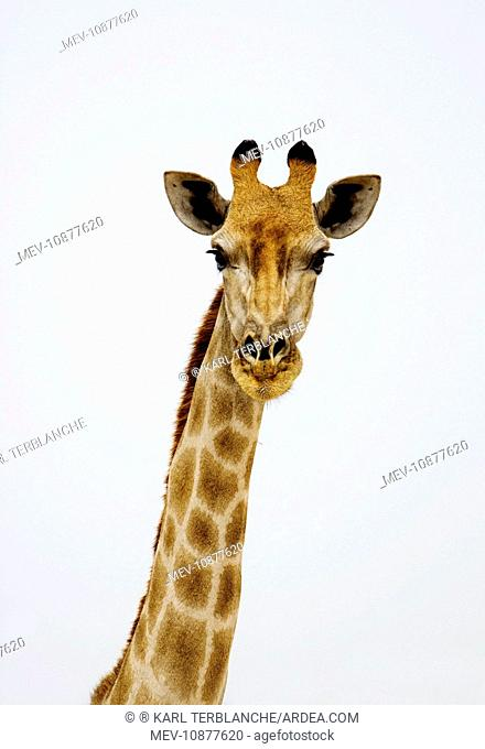 Giraffe - head and neck portrait (Giraffa camelopardalis). Etosha National Park - Namibia - Africa