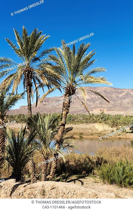 Morocco - Date palms Phoenix dactylifera, Drâa river and the famous Kasbah = fortress Tamnougalt against the background of the Djebel Kissane mountain ridge...