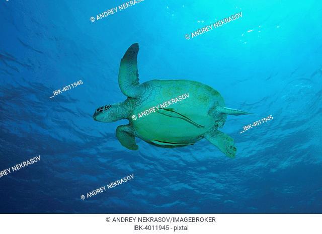 Green Sea Turtle, also Green Turtle, Black Sea Turtle, or Pacific Green Turtle (Chelonia mydas), Bohol Sea, Philippines