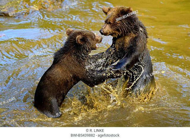 European brown bear (Ursus arctos arctos), two bear cubs tussling in a pond, side view, Germany, Bavaria, Bavarian Forest National Park