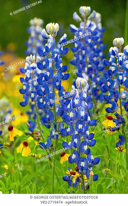 Texas bluebonnet with yellow daisy, Inks Lake State Park, Texas