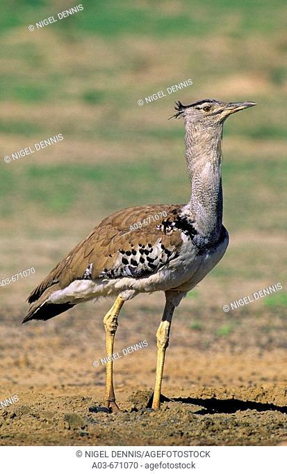 Kori Bustard, Ardeotis kori, Africa's heaviest flying bird, Kgalagadi Transfrontier Park, Kalahari, South Africa