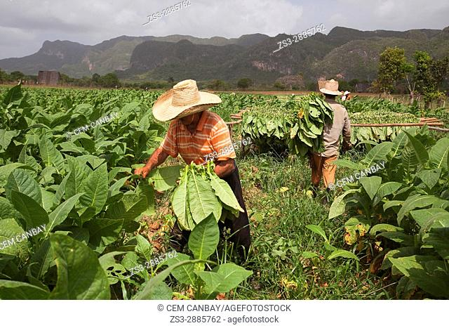 Farmers picking tobacco leaves in the valley, Vinales, Pinar del Rio Province, Cuba, Central America