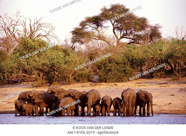Elephants drinking, Chobe, Botswana