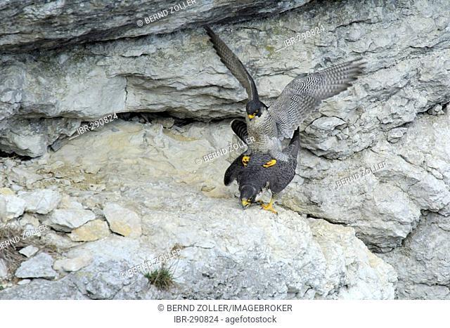 Peregrine Falcon (Falco peregrinus) intercourse