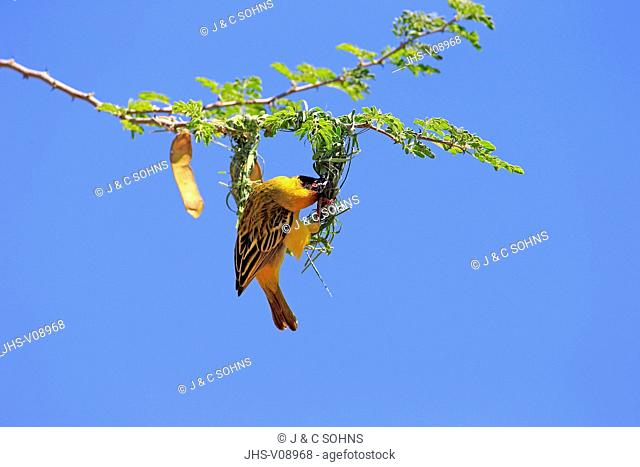 Masked Weaver, (Ploceus velatus), adult male builds a nest, Tswalu Game Reserve, Kalahari, Northern Cape, South Africa, Africa