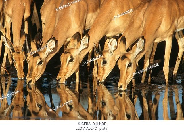 Close up of Impala Aepyceros melampus herd drinking at waterhole. Moremi Wildlife Reserve, Botswana