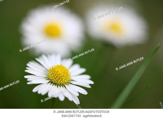 lovely english daisies