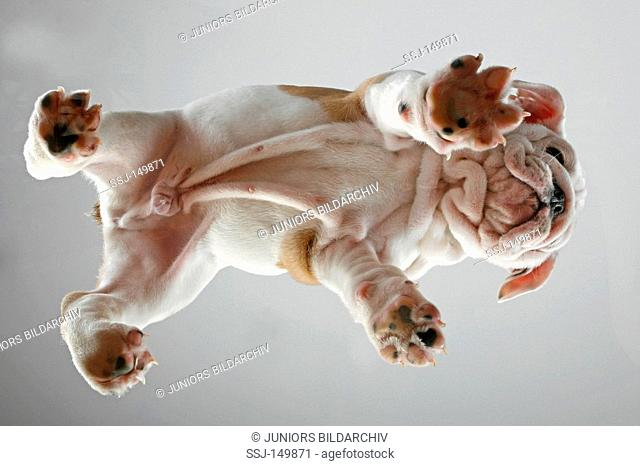 English Bulldog dog - puppy - bottom view restrictions: Tierratgebebücher, Kalender / animal guidebooks, calendars