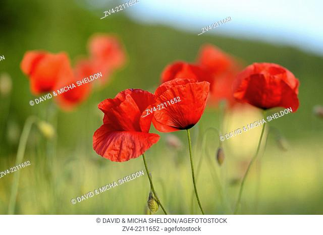 Close-up of Corn poppies (Papaver rhoeas) in a corn field in summer