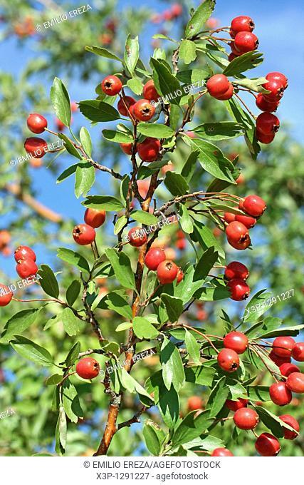 Hawthorn fruits Crataegus sp