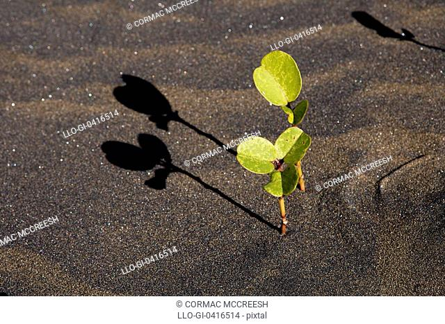 Low angle image of Beach Morning Glory or Goat's Foot Ipomoea brasiliensis and shadows taken on the beach at Port St John's, Wild Coast, Eastern Cape