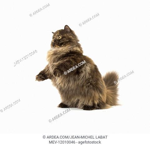 Minuet cat in the studio