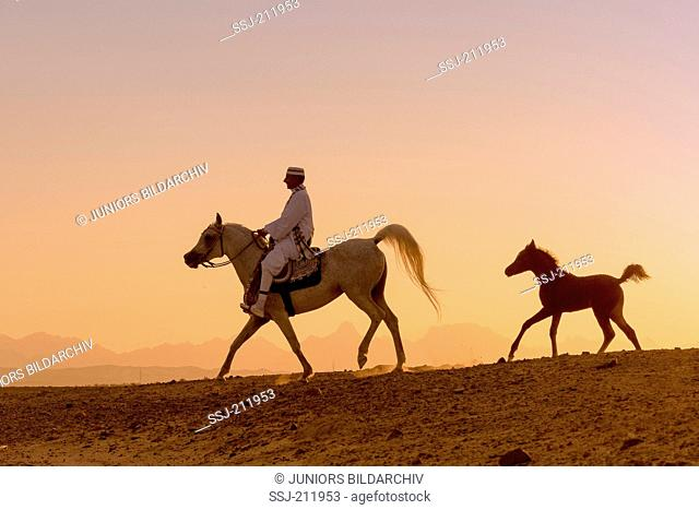 Arab Horse. Rider on gray mare trotting in the desert, while her foal follows. Egypt