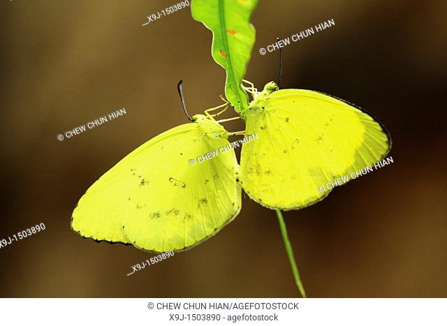 Butterfly Common grass yellow, Eurema hecabe, Borneo