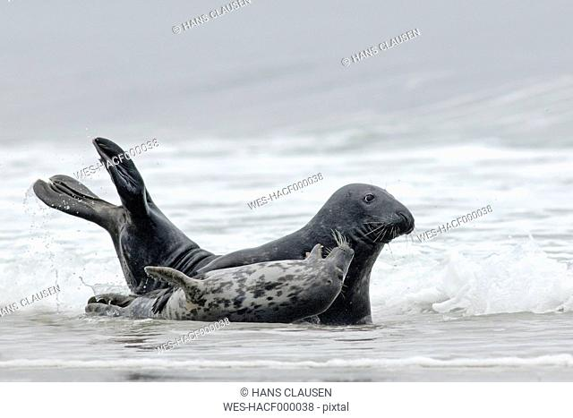 Germany, Schleswig-Holstein, Helgoland, Grey seal, Halichoerus grypus, and grey seal pup lying at beach