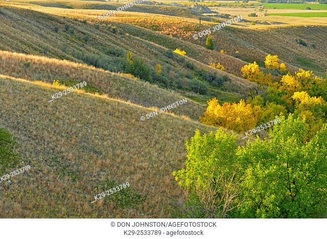 Green ash trees in the coulees in autumn colour, Fort Peck Indian Reservation, Montana, USA