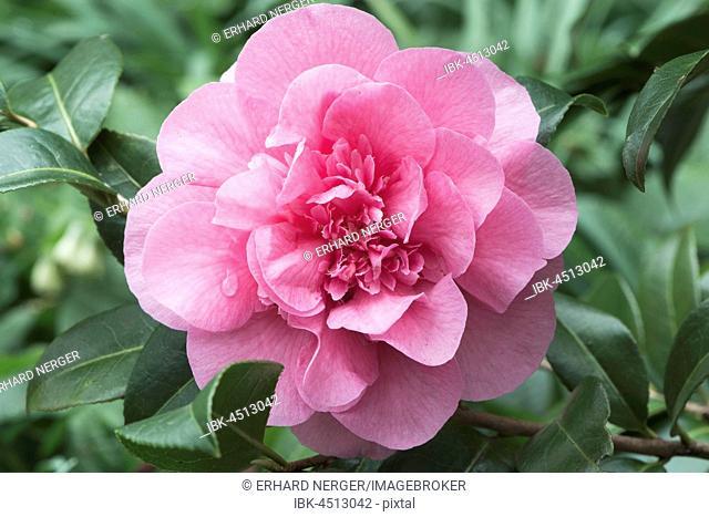 Camellia (Camellia japonica cultivar), Emsland, Lower Saxony, Germany