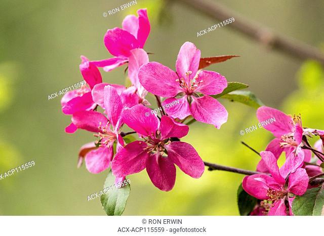 Crab apple blossoms, Doris McCarthy Trail, Toronto, Ontario, Canada