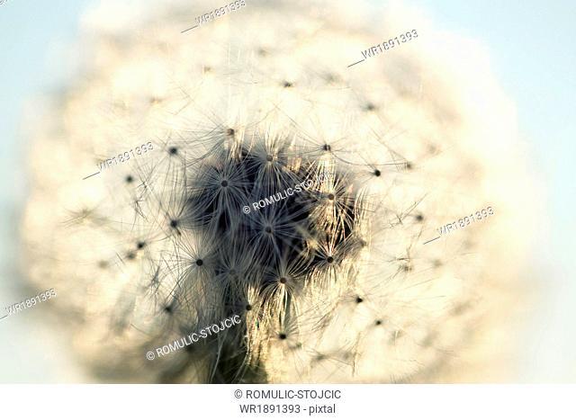 Head of dandelion against blue sky