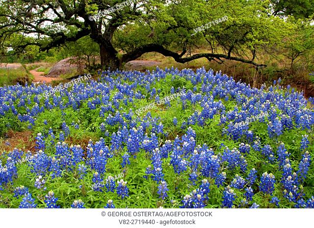 Texas bluebonnet field, Enchanted Rock State Park, Texas