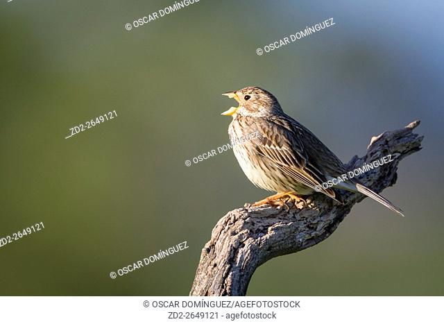 Corn Bunting (Emberiza calandra) singing on branch. Lleida province. Catalonia. Spain