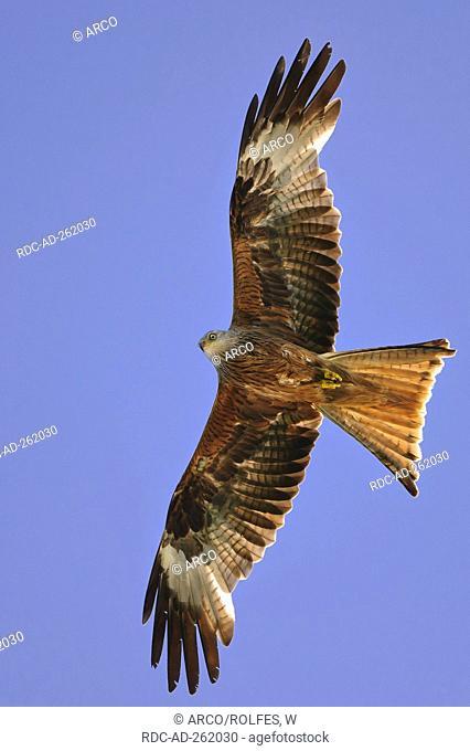 Red Kite Mecklenburg-Western Pomerania Germany Milvus milvus