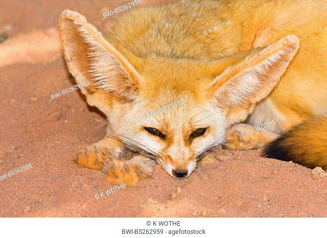 fennec fox Fennecus zerda, Vulpes zerda, lying with the head on the sand, Libya