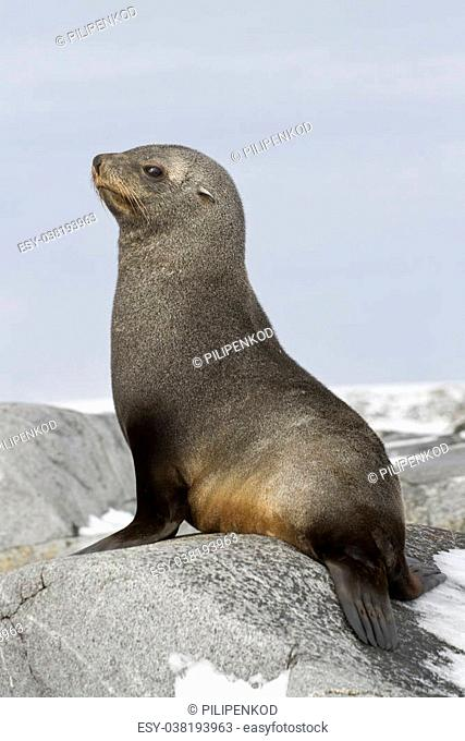 young fur seal sitting on the rocks of the Antarctic Islands