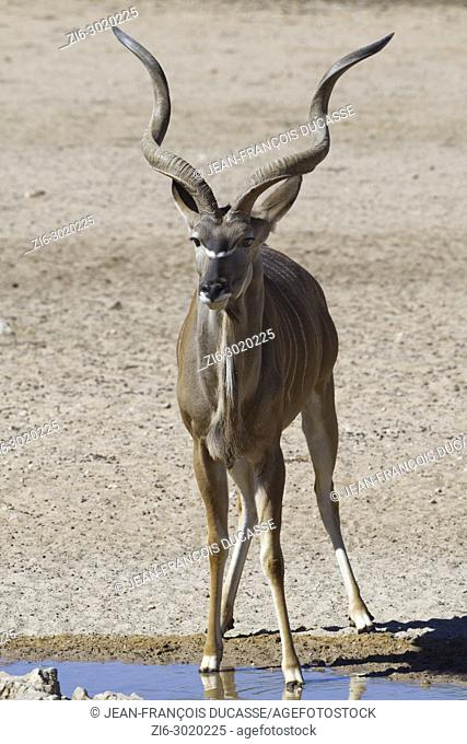 Greater kudu (Tragelaphus strepsiceros), adult male standing at a waterhole, alert, Kgalagadi Transfrontier Park, Northern Cape, South Africa, Africa