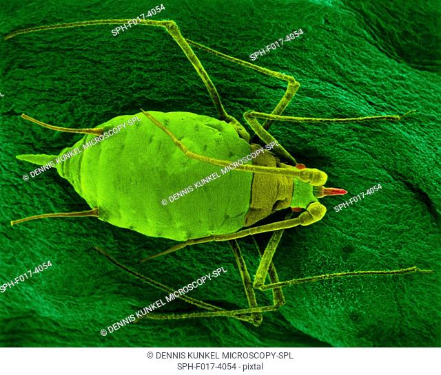 Coloured scanning electron micrograph (SEM) of Aphid mummy (Acyrthosiphon pisum) on a bean leaf. The aphid was parasitized by an aphid wasp which laid its egg...
