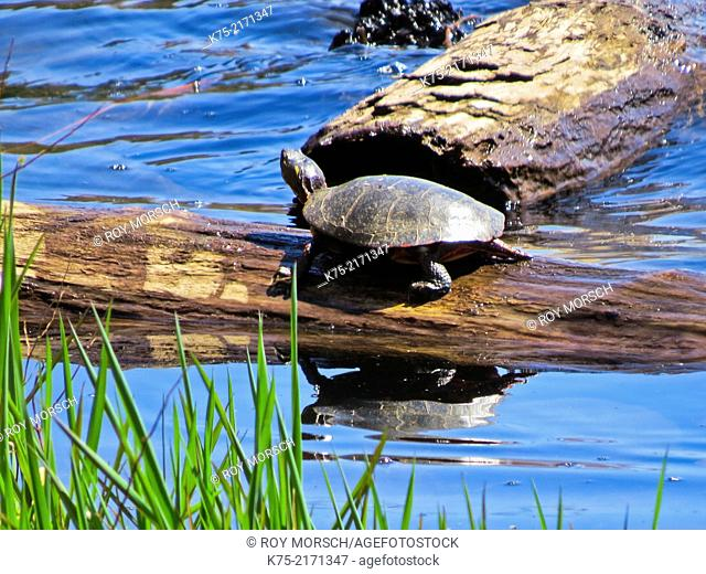 Eastern painted turtle, Chrysemys picta, in northeast PA