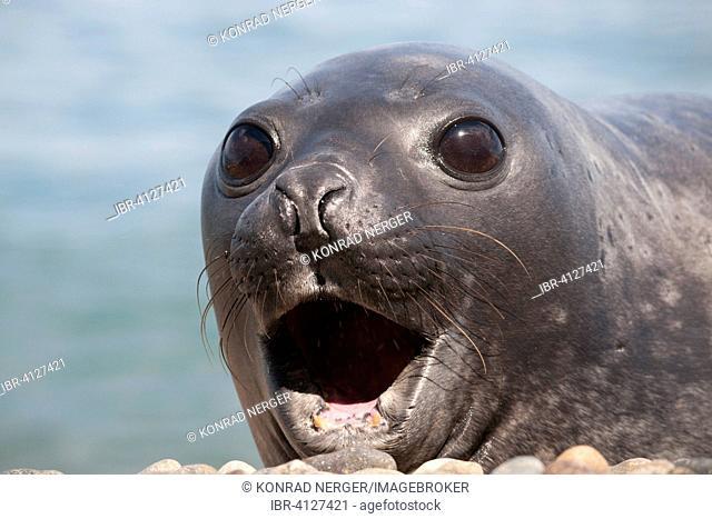 Southern Elephant Seal (Mirounga leonina), female, near Punta Ninfas, Argentina