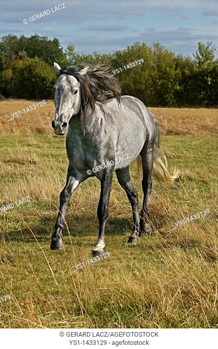 LUSITANO HORSE STANDING IN MEADOW