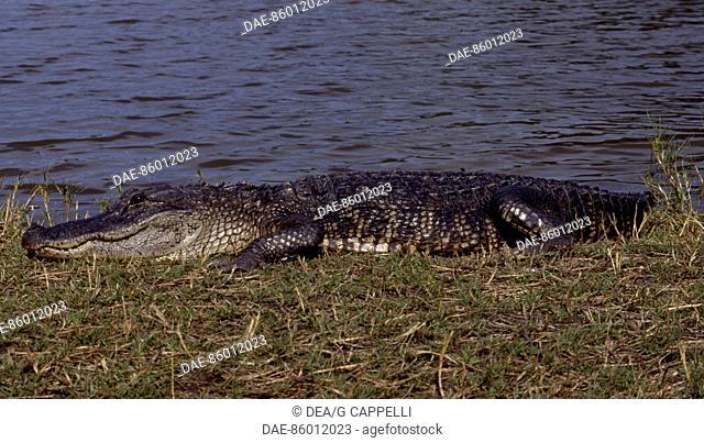 American alligator (Alligator mississippiensis), Alligatoridae. Everglades National Park (UNESCO World Heritage List, 1979), United States