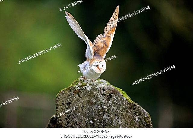 Barn Owl, (Tyto alba), adult starts flying, Pelm, Kasselburg, Eifel, Germany, Europe