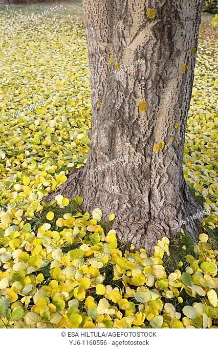 aspen trunk and yellow leaves on ground