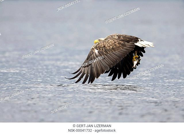 White-tailed Eagle (Haliaeetus albicilla) flying above water with fish in its claw, Poland, Stepnica, Oderdelta