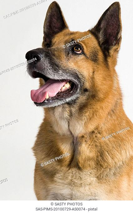 Close-up of a German Shepherd dog