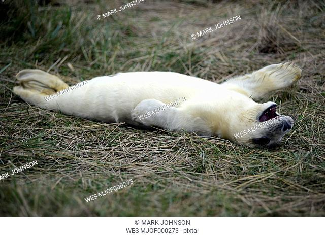 Grey seal, Halichoerus grypus, young animal, lying on meadow