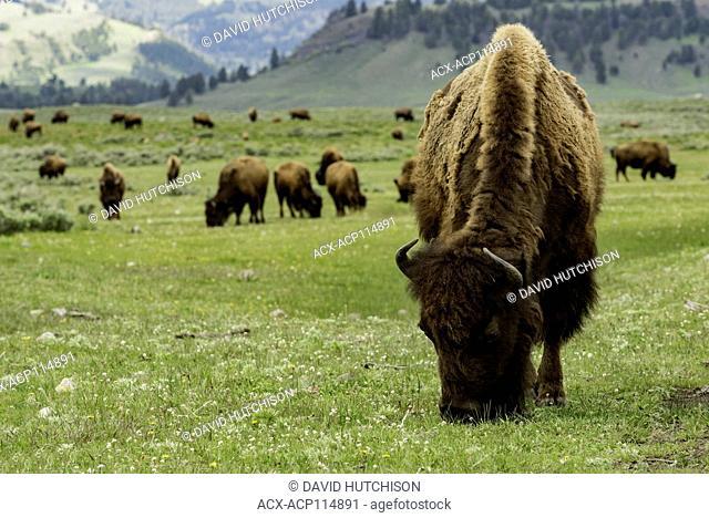 Bison (Bison bison), Yellowstone National Park, Wyoming, USA