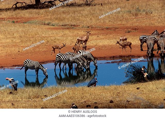 Burchell's Zebra (Equs burchelli) at Waterhole Kenya
