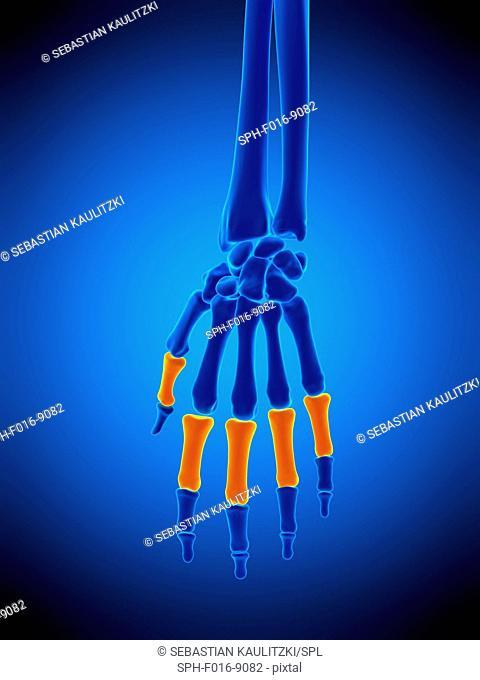 Illustration of the proximal phalanges bones