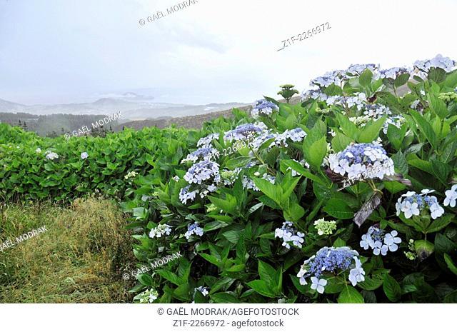 Hydrangea in Faial, Azores, Portugal