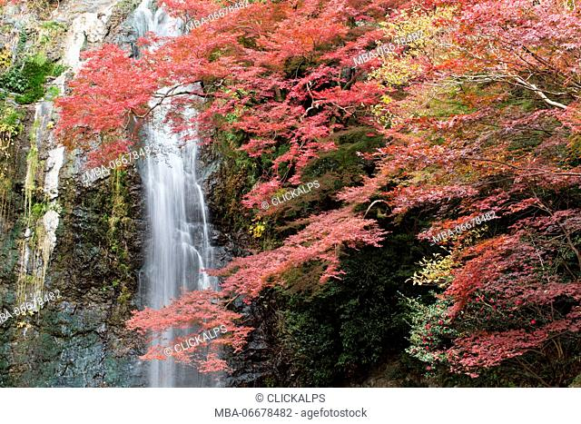 Minoo waterfall with Japnaese maple tree in red autumn colors and surrounding vegetation, Osaka