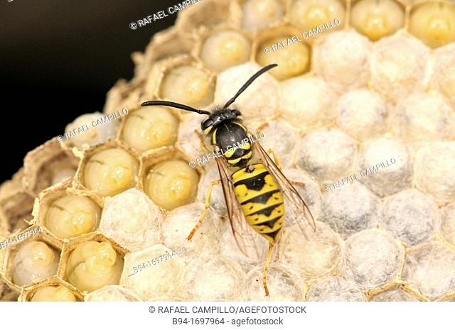 Insect  Social wasp  Vespula vulgaris  Order Hymenoptera  Fam  Vespidae  Osseja  Languedoc Roussillon  Pyrénées Orientales  France