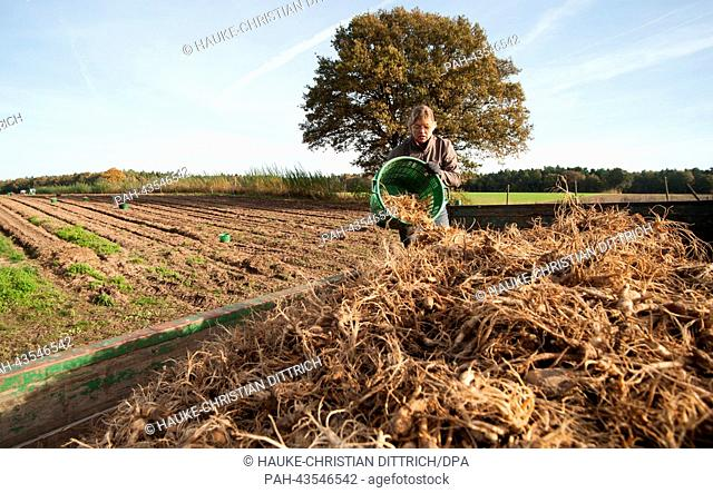 Henrike Rodemeier empties a bucket of harvested ginseng roots at the Flora Farm in Bockhorn, Germany, 22 October 2013. The ginseng roots are washed and dried...